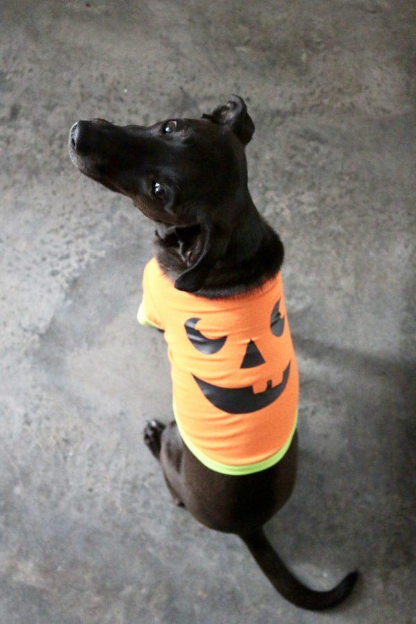 5 DIY Halloween Pet Costumes | Greta Hollar - 5 DIY Halloween Pet Costumes by popular Nashville blogger Greta Hollar