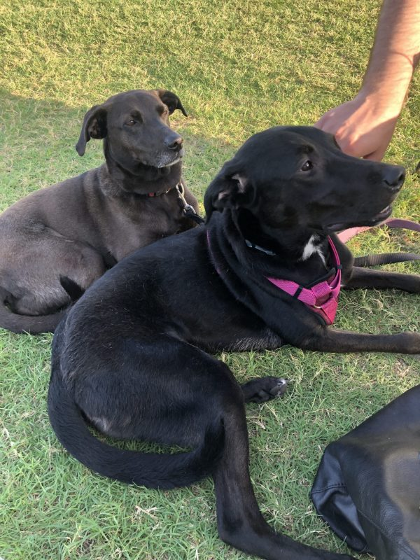 COVID Travel: The Best Things to Do Outer Banks, NC When Social Distancing | Greta Hollar |  Outer Banks NC by popular Nashville travel blogger, Greta Hollar: image of two black dogs.